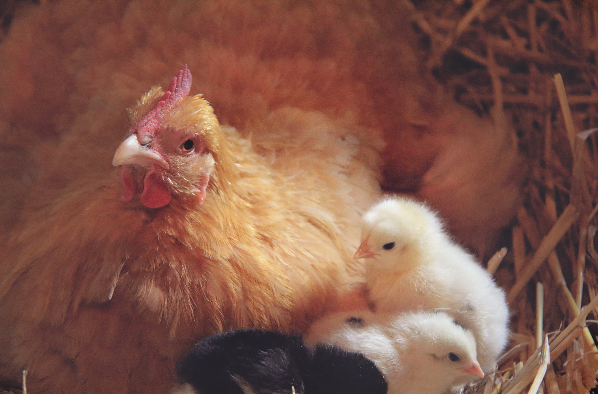 Hatching Chicks with Mother Hens